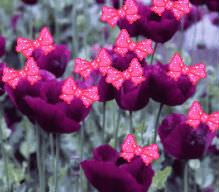 purplepoppi